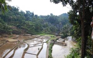 Ricefieldmariette